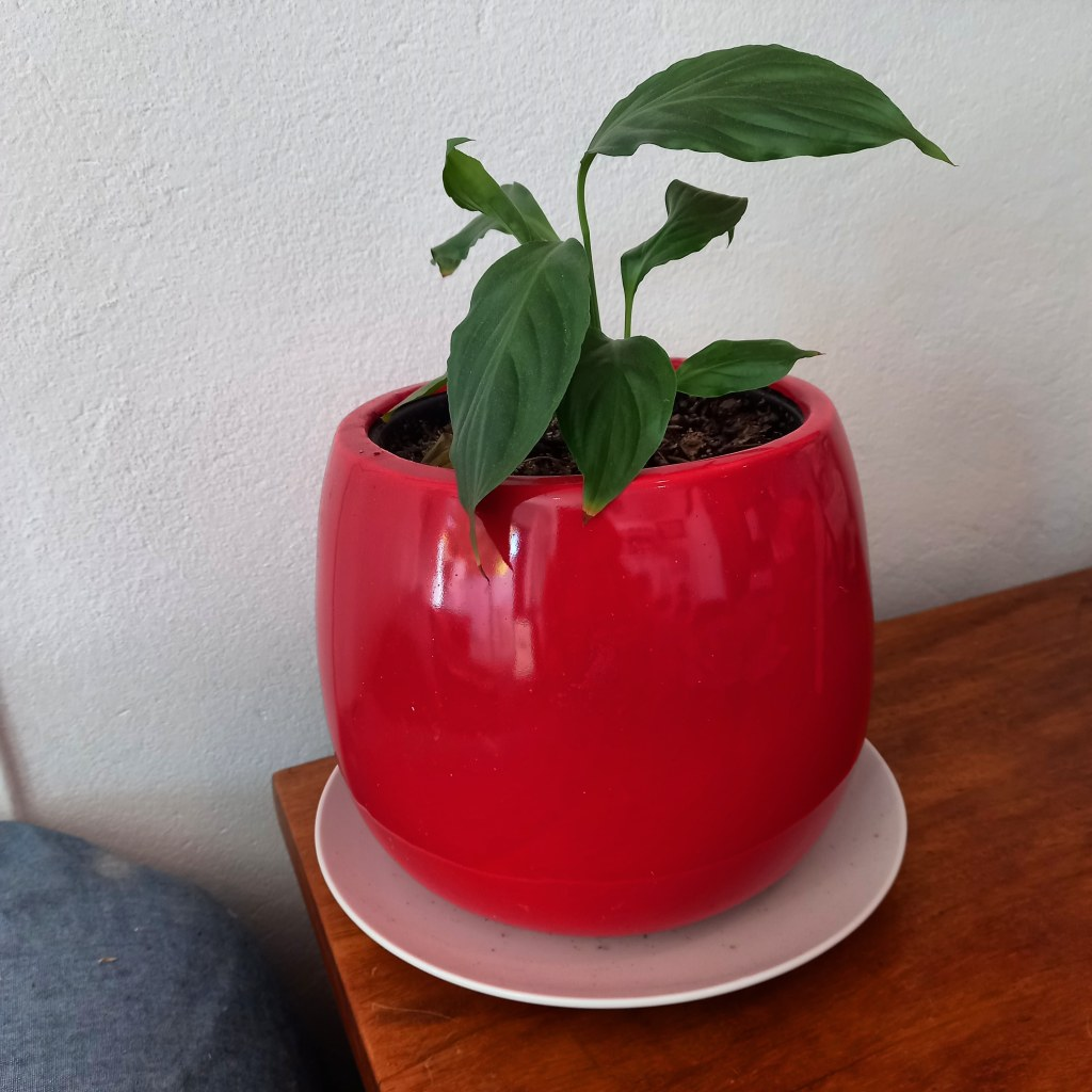A small peace lily in a red pot on a wooden desk.
